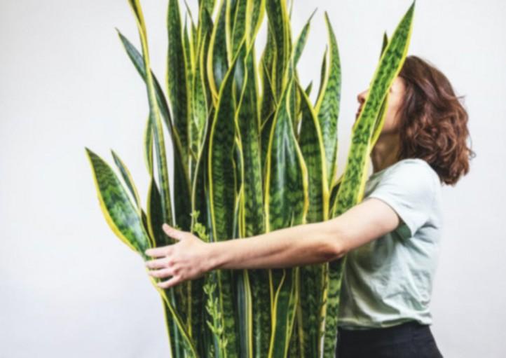 فروشگاه آنلاین گل و گیاه گلیتال | معرفی و مراقبت انواع سانسوریا