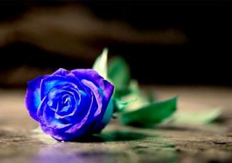 فروشگاه آنلاین گل و گیاه گلیتال | نماد گل رز آبی