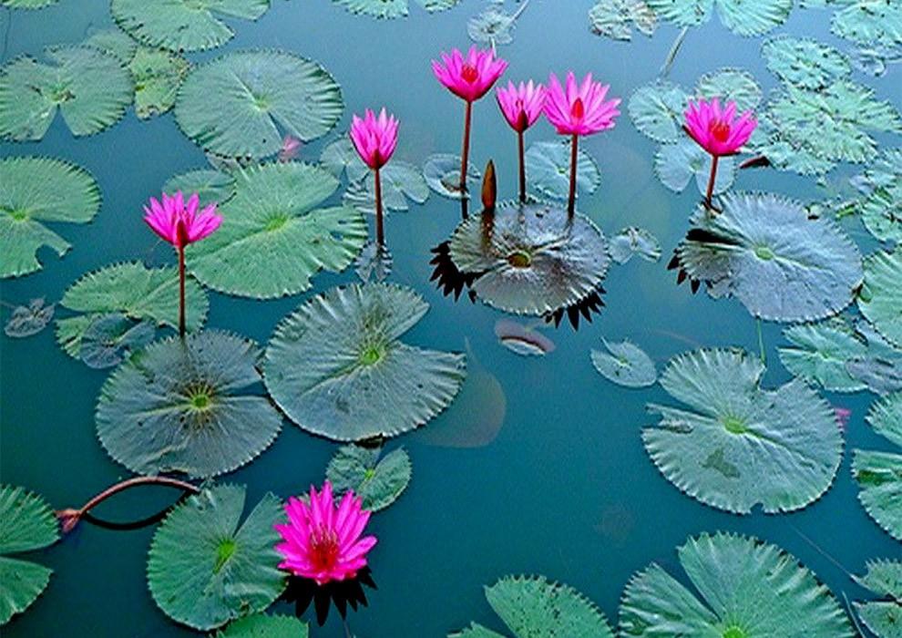 گلیتال - نماد گل نیلوفر