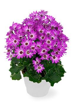 خرید گلدان سینره