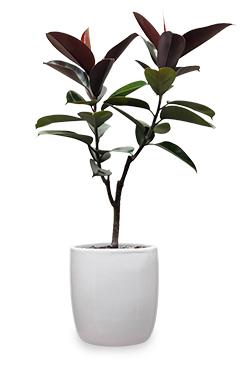 خرید گلدان فیکوس الاستیکا بلک دو شاخه