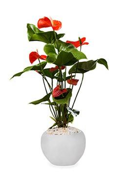 خرید گلدان آنتریوم
