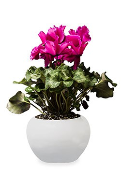 خرید گلدان سیکلامن