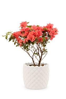 خرید گلدان آزالیا